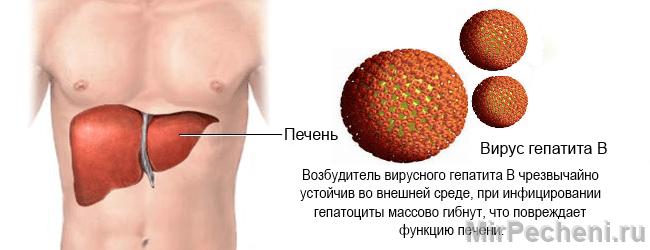 Возбудитель гепатита Б