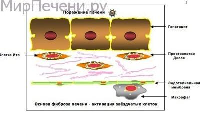 Особенности фибросканирования печени
