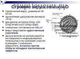Строение гепатита D