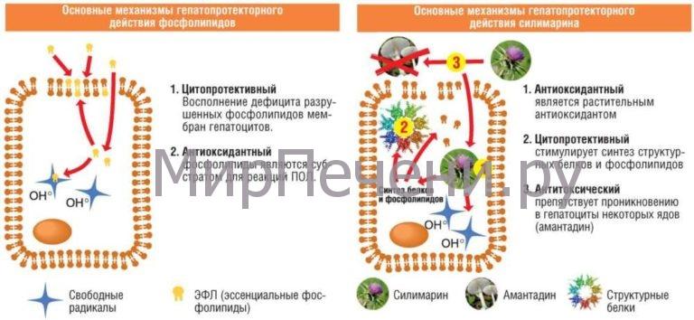 Основные механизмы гепатопротекторного действия фосфолипидов